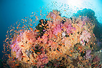 Bligh Waters, Vatu I Ra Passage, Fiji; an aggregation of Scalefin Anthias fish swimming above orange, pink and purple soft corals, gorgonian sea fans and dark green Black Sun Corals on a rocky reef wall, with the sun visible overhead