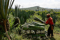 TANZANIA, Tanga, Korogwe, Mazinde Estate, owned by Mohammed Enterprises Tanzania Limited (METL) a large Sisal plantation, farm worker harvest sisal leaves which natural fibers are used for ropes carpets matts etc./ TANSANIA, Korogwe, Mazinde Estate von Mohammed Enterprises Tanzania Limited (METL), grosse Sisal-Agaven Plantage, Landarbeiter ernten die schwertfoermigen Sisalblaetter, Sisalfasern werden fuer Taue, Seile, Matten, Teppiche u.a. verwendet