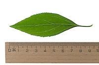 Forsythie, Goldglöckchen, Hybrid-Forsythie, Garten-Forsythie, Forsythia x intermedia, border forsythia, Le Forsythia hybride, Forsythia de Paris. Blatt, Blätter, leaf, leaves
