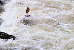 Kayaker submerged by white water in the Cache la Poudre River, Larimer County, CO
