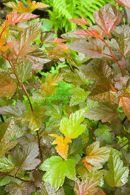 Physocarpus opulifolius 'Coppertina' in June early summer differnt changing foliage shrub colors . Note that Physocarpus 'Coppertina' aka Mindia is called Physocarpus opulifolius 'Diable D'Or' aka Mindia in Europe.