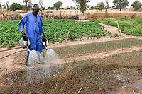 SENEGAL, Sahel, village Ngoxé Djoloff, irrigated vegetable garden, farmer irrigates onion with watering can / bewässerter Gemüsegarten, Farmer giesst Zwiebeln mit Gießkanne