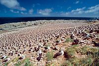 nesting black-browed albatrosses, Thalassarche melanophris, Steeple Jason Island, Falkland Islands, British Overseas Territories, United Kingdom, South Atlantic
