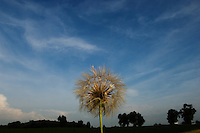 Dandelions seeds against blue sky with white clouds with trees and horizon