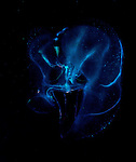 Skull like Comb jellyfish, Underwater Marine life Behavior, Blue Heron Bridge, Lake Worth Inlet, Riviera, Florida, USA, Intra Coastal Waterway, North Atlantic Ocean.8-6-11-136