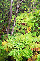 Hawaiian tree fern or hapu'u (Cibotium glaucum) and 'ohi'a lehua tree (Metrosideros polymorpha) Hawai'i Volcanoes National Park, Kilauea, Big Island.