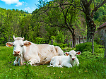 Frankreich, Bourgogne-Franche-Comté, Département Jura, bei Baume-les-Messieurs: Charolais Rinder - Kuh mit Kalb | France, Bourgogne-Franche-Comté, Département Jura, bei Baume-les-Messieurs: Charolais cattle - cow with calf