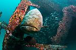 Goliath Grouper-United Caribbean Wreck