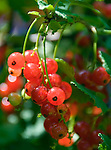 red currant (Ribes rubrum), fruit