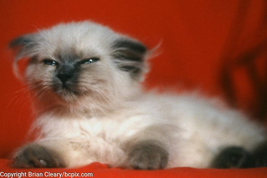 A sleepy himilayan kitten, Daytona Beach, FL. (Photo by Brian Cleary/www.bcpix.com)