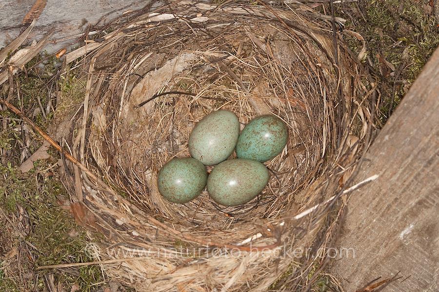 Amsel, Schwarzdrossel, Schwarz - Drossel, Nest mit Eiern, Turdus merula, Blackbird,  Merle noir