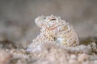 Longarm Octopus (Abdopus sp.) in the Maldives