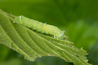 Rundflügel-Kätzcheneule, Gemeine Kätzcheneule, Rotgelbe Frühlingseule, Gemeine Frühlingseule, Rundflügelkätzcheneule, Raupe frisst an Hasel, Orthosia cerasi, Orthosia cerasia, Monima cerasi, Orthosia stabilis, common Quaker, caterpillar, l'Orthosie du cerisier, Eulenfalter, Noctuidae, noctuid moths, noctuid moth