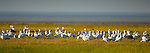 Flock of Snow Geese (Chen caerulescens) feeding on tundra. Near Nanuk Polar Bear Lodge, shores of Hudson Bay, Manitoba, Canada.