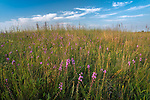 Nachusa Grasslands Natural Area, Illinois: Tallgrass prairie with native grasses and blazing star (liatris)