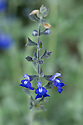 Salvia chamaedryoides, mid August.