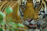 Male Bengal Tiger (Panthera tigris tigris) resting in the undergrowth. Bandhavgarh National Park, Madhya Pradesh, India.