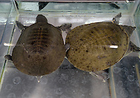 Turtles for sale in Tesco is killed, in the Chaoyang area of Beijing.  Live turtles are sold and often killed on the premises of the shop.  <br /> <br /> Photo by Sinopix