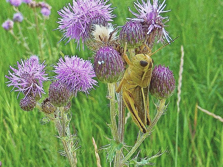 Photo of Green locust feeding on purple thistle blooms.