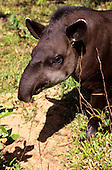 Amazon, Brazil. Tapir (Tapirus terrestris) - anta, a South American odd-toed ungulate. Mato Grosso State.