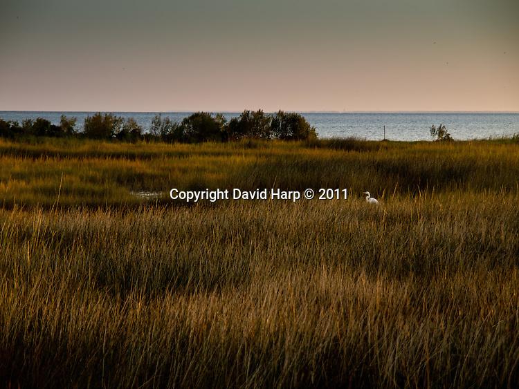 A great egret hunts along the edges of a wetland on Goose Island,VA.