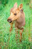 moose, Alces alces, newborn calf stands in grass on the Kenai Peninsula, southcentral, Alaska, USA