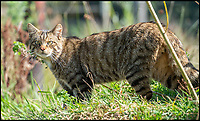 BNPS.co.uk (01202 558833)<br /> Pic: PhilYeomans/BNPS<br /> <br /> Wildcats - although only surviving in the Scottish highlands today they are actually more suited to deciduous forest's further south.<br /> <br /> Back to the future - A farmer is returning his land back to the Stone Age and reintroducing species of wild animals once extinct in the UK - after becoming disenchanted with 'unsustainable' modern farming techniques.<br /> <br /> Derek Gow is using a herd of Nazi-engineered cows to spearhead his radical rewilding scheme that will create the farming version of Jurassic Park.<br /> <br /> The Heck cows that died out in the Iron Age were re-established in Nazi Germany in the 1930s as part of a genetics programme to create a breed of super cattle.<br /> <br /> Joining them on Mr Gow's 115 acre ring-fenced plot of upland in Devon will be rabbit-eating wildcats, wild boar and beavers.