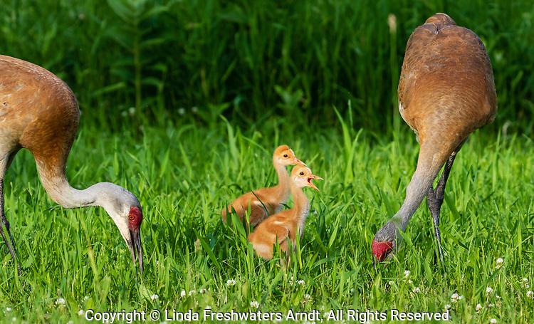 Sandhill cranes feeding their two colts.