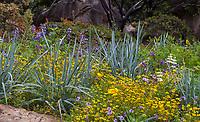 Silver gray foliage California native grass Leymus condensatus Canyon Prince Giant wild rye in flowering wildflower border - Santa Barbara Botanic Garden