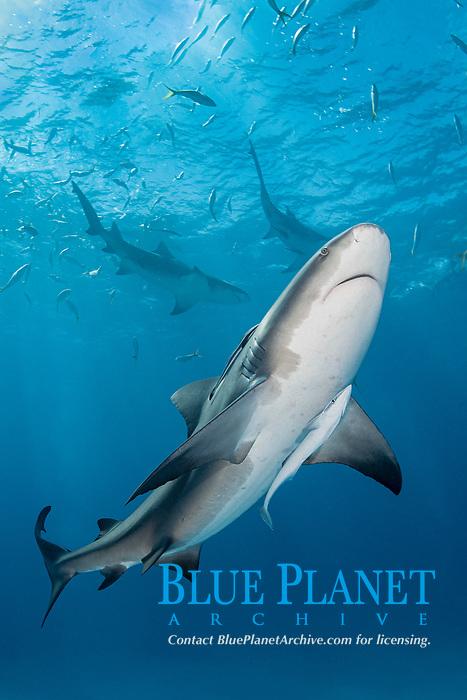 Bull Shark, Carcharhinus leucas. Aka Zambezi Shark or Lake Nicaragua Shark. Tiger Beach, Little Bahama Bank, Bahamas, Caribbean Sea.