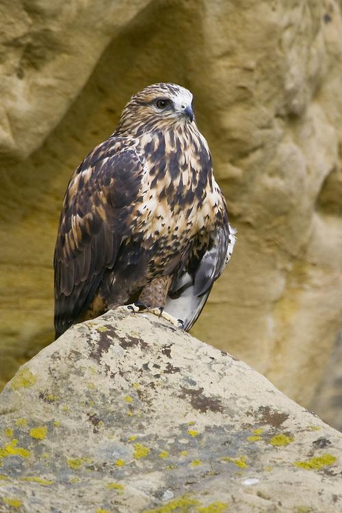 Rough-legged Hawk perched on a lichen covered rock