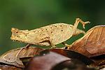 Adult Stump-tailed or Leaf Chameleon (Brookesia superciliaris) walking across leaf litter on rain forest floor. Andasibe-Mantadia National Park, Madagascar.