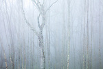 Birch trees at Newfound Gap, Great Smoky Mountains National Park, North Carolina, USA