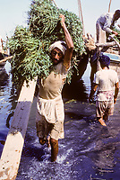 Kuwait September 1966.  Sief Waterfront.  Offloading Animal Fodder from a Boat from Iran.