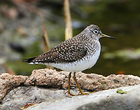 Solitary sandpiper adult in spring migration