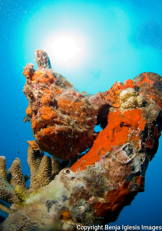 Red Comerson frgfish over the exhaust pipe of the st Anthonys wreck maui Hawaii.