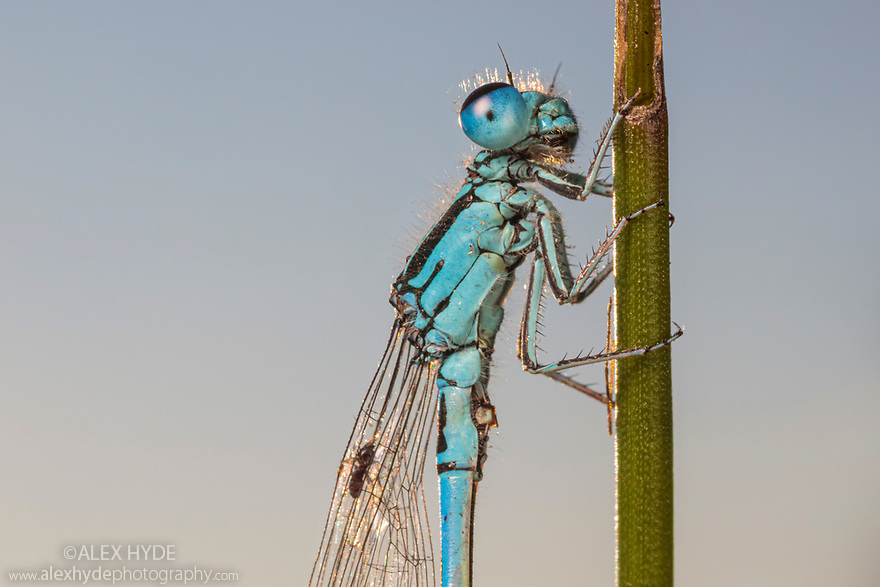 Southern Damselfly (Coenagrion mercuriale), Dorset. Photographed under licence.