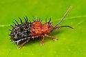 Spiky Leaf Beetle (Dactylispa sp.), Danum Valley, Sabah, Borneo. June.