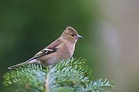 Buchfink, Weibchen, Buch-Fink, Fringilla coelebs, Chaffinch, female, Pinson des arbres