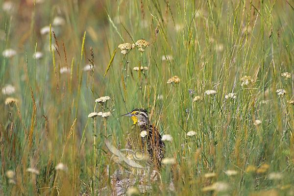 Western Meadowlark (Sturnella neglecta) in the morning among prairie wildflowers.  Western U.S., June.