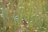 Western Meadowlark (Sturnella neglecta) in the morning among prairie wildflowers.  Western U.S., June.