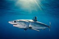 Shortfin Mako Shark, Isurus oxyrhynchus, Long Beach, Southern California, Eastern Pacific Ocean