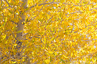 Glowing cottonwood leaves, Great Sand Dunes National Park