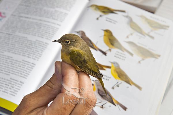Nashville Warbler (Vermivora ruficapilla) has ID confirmed during fall bird banding process at Haldimand Bird Observatory, s. Ontario, Canada.