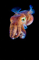 stubby squid, Rossia pacifica, a species of bobtail squid, Vancouver Island, British Columbia, Canada, Pacific Ocean