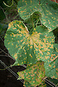 Cucumber mosaic virus, early August.