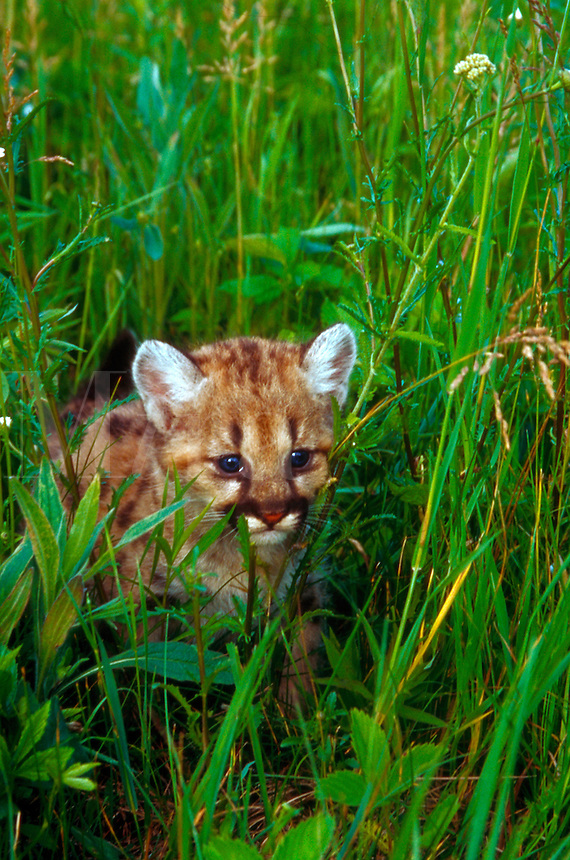 Four 4-week old mountain lion cub walking through grass.