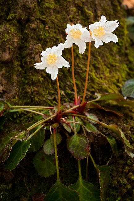 Oconee Bell (Shortia galacifolia), threatened and endangered