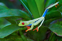 red-eyed treefrog, Agalychnis callidryas, on bromelia, Bromelia sp., in rainforest, Costa Rica