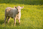 Brazoria County, Damon, Texas; a calf standing in a field of yellow wildflowers lit by raking, early morning sunlight